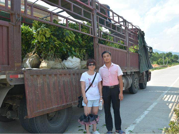 海南客户订购的3万多棵大三红蜜柚苗装车中