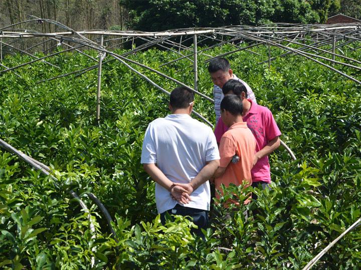 贵州客户到我司大三红蜜柚基地现场考察订购苗木