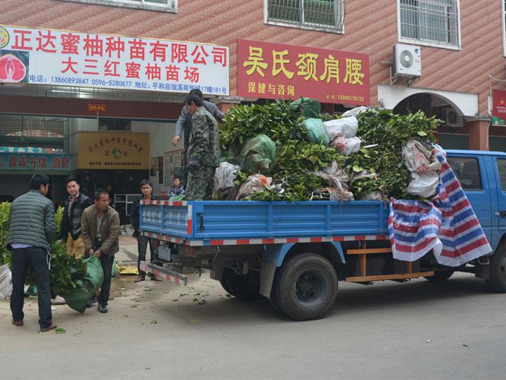 湖南客户订购的8千多棵大三红蜜柚苗装车中