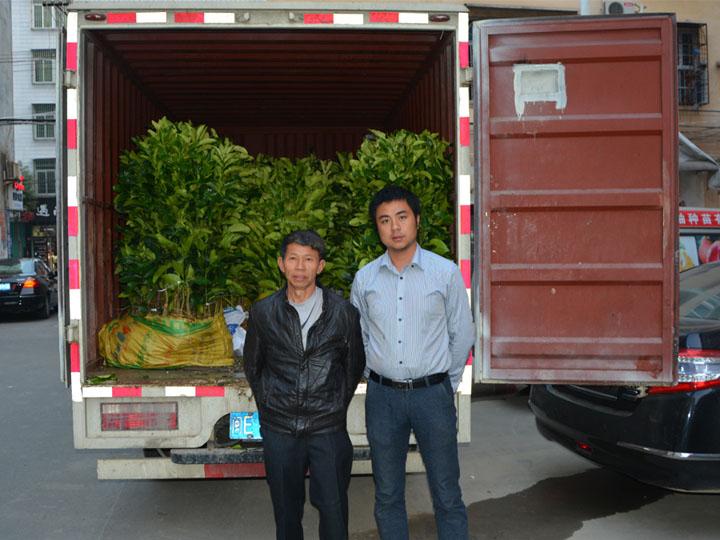 江西客户订购的1万多棵大三红蜜柚苗装车中