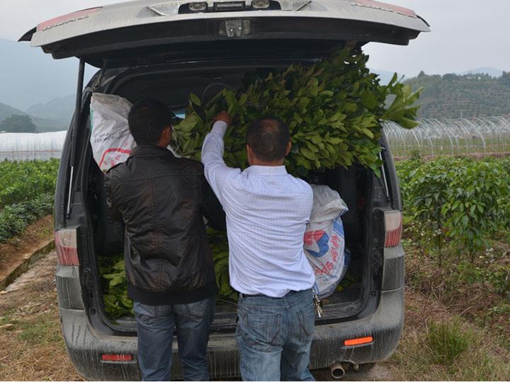 湖南常德客户订购的3千多棵大三红蜜柚苗装车中
