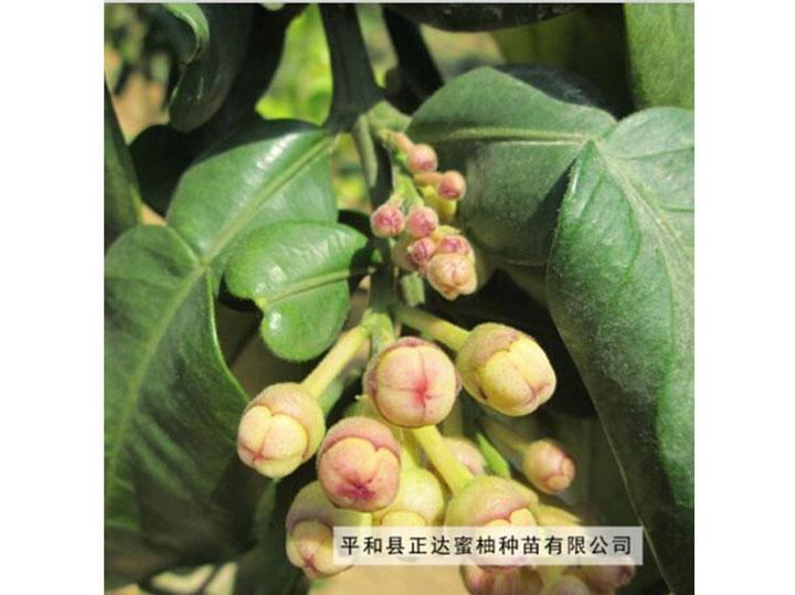 平和县正达金桔蜜柚花朵