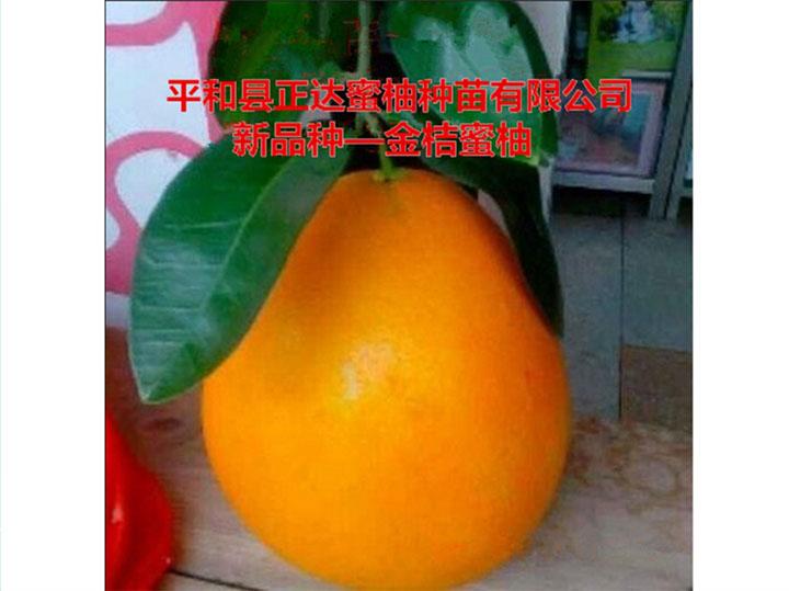 福建金桔蜜柚苗适合哪些其地区种植丨哪里有正宗黄肉蜜柚苗、金黄蜜柚苗