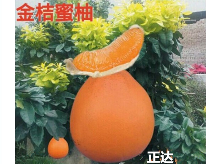 金桔蜜柚苗