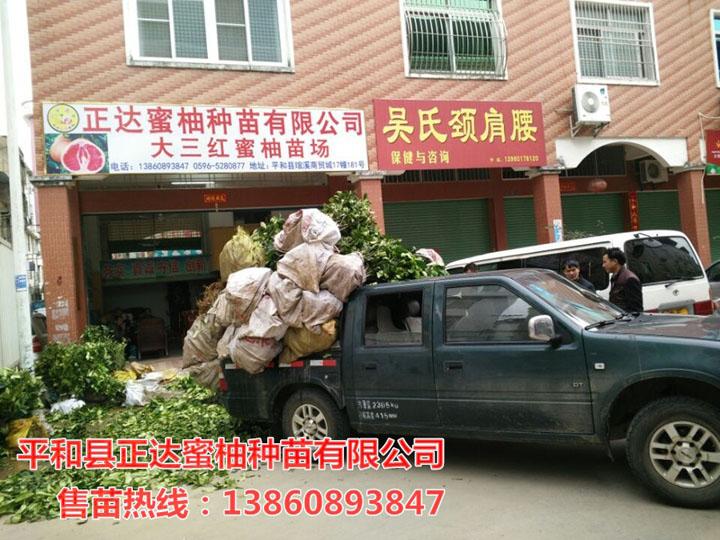 郴州哪里有三红柚子苗丨郴州市客户订购的6千棵大三红蜜柚苗装车中