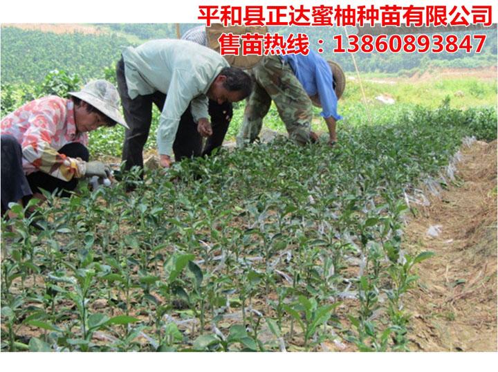 三红蜜柚苗嫁接中丨福建大量三红蜜柚苗即将出圃,要购买柚子苗的赶早了