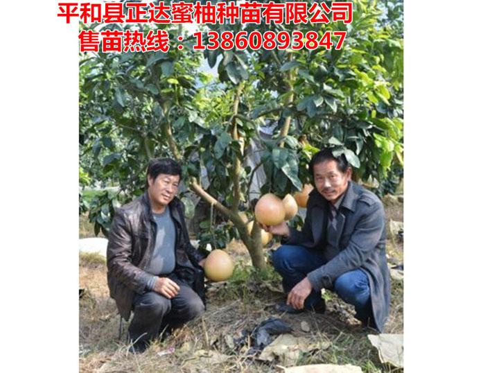 湖南客户到正达三红蜜柚果园考察定苗
