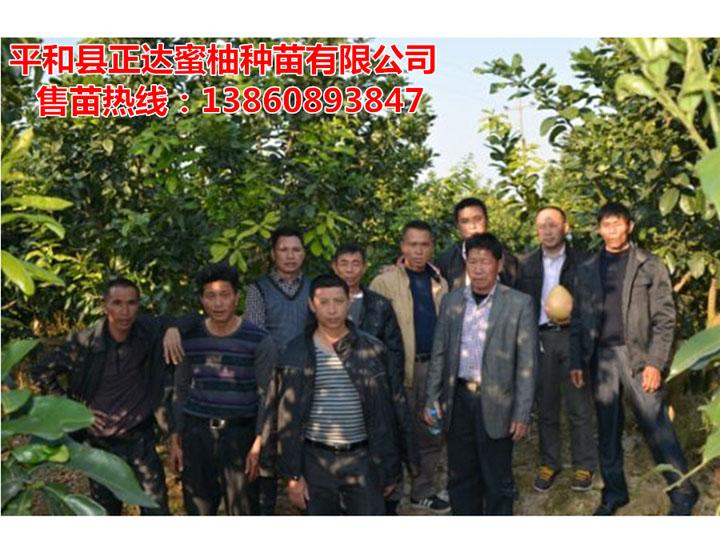 广西客户到正达三红蜜柚果园考察定苗