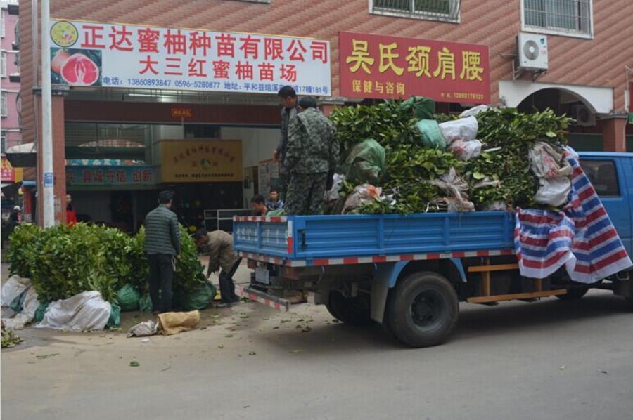 湖南客户到我司基地现场订购2万多棵大三红蜜柚苗装车中
