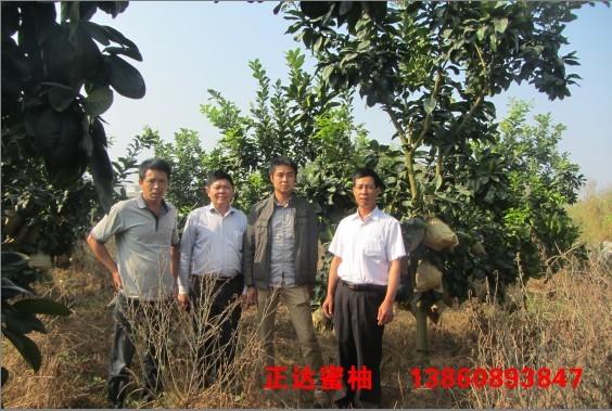 广东客户到正达三红蜜柚果园考察定苗