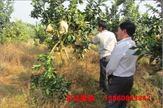 广西客户到正达三红蜜柚果园现场学习管理栽培技术