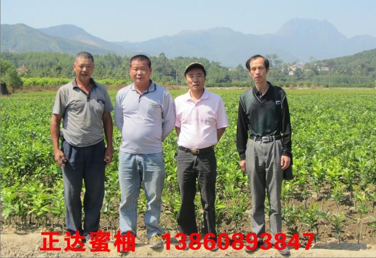 浙江温州客户到我司大三红蜜柚苗基地现场定苗