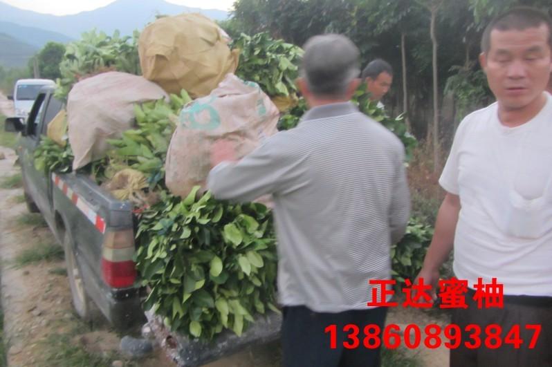 广东客户到正达三红蜜柚基地现场购苗