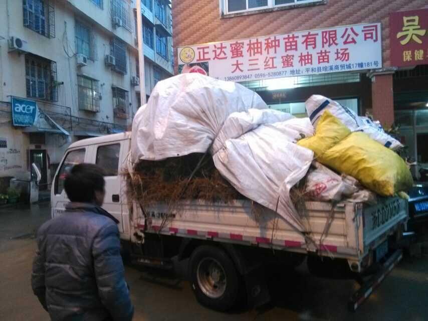 江西客户到我司现场定购8千多棵大三红蜜柚苗