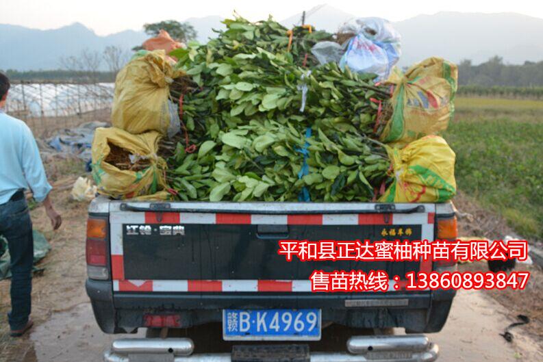 江西客户到我司基地现场订购6千多棵大三红蜜柚苗