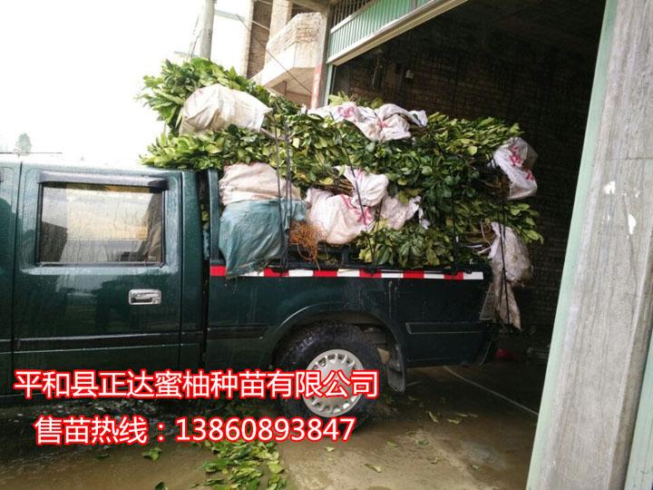 江西客户到正达大三红蜜柚苗基地订购8千多棵大三红蜜柚苗装车中