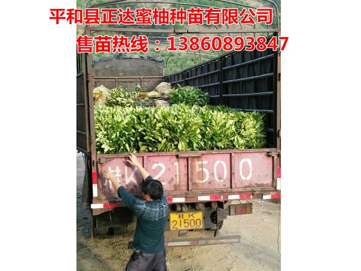 广西桂林客户到我司基地订购3万多棵大三红蜜柚苗装车中