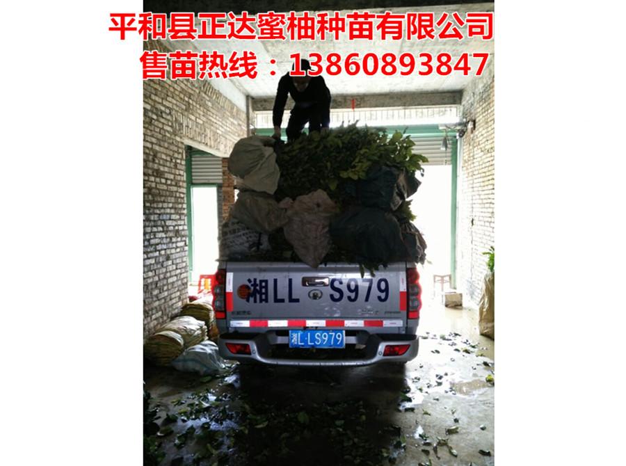 四川客户到正达三红蜜柚基地订购1万多棵三红蜜柚苗