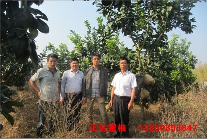 萍乡客户现场订购正达大三红蜜柚苗2