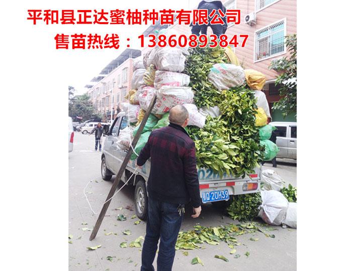 贵州客户订购1万多棵大三红蜜柚苗装车中