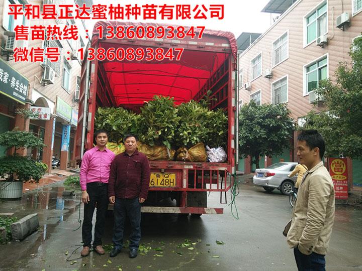 湖南客户订购的3万多棵大三红蜜柚苗装车中