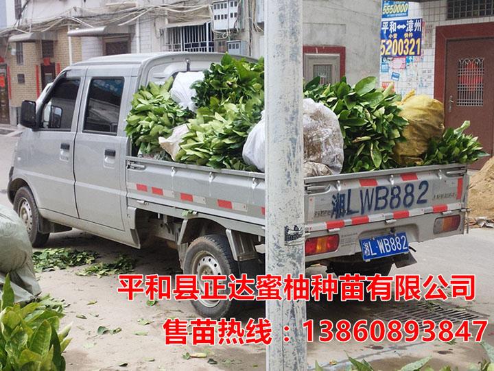 四川客户订购的6千多棵大三红蜜柚苗装车中