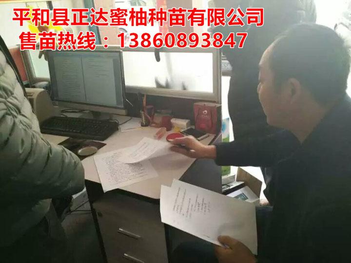 贵州客户定购大三红蜜柚苗合同签订中