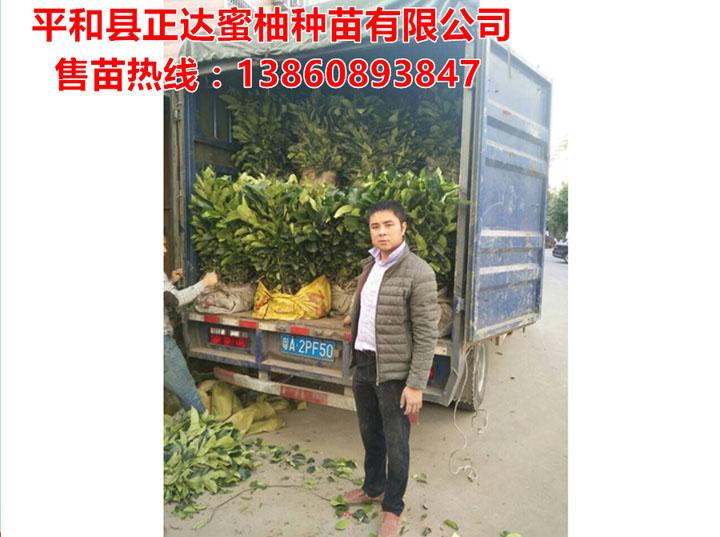 广东客户订购的1万多棵大三红蜜柚苗装车中