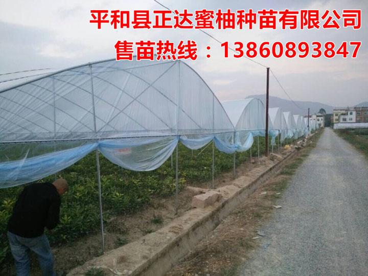 平和县正达大三红蜜柚苗基地