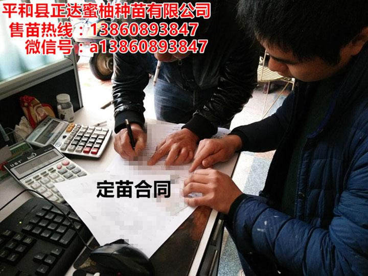 四川客户订购4万多棵大三红蜜柚苗合同签订中