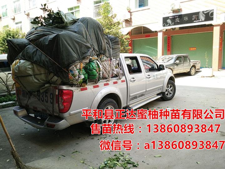 重庆酉阳客户到我司基地现场订购1万多棵大三红蜜柚苗