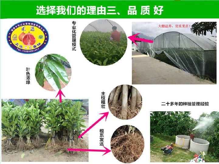 三红蜜柚苗,请到合法培育蜜柚苗单位,品种保障,价格实在,首选平和县正达蜜柚种苗有限公司