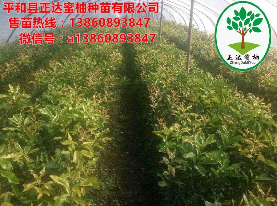 贵州黄肉蜜柚苗多少钱一株丨正宗金桔蜜柚苗价格多少