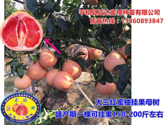 大三红蜜柚挂果母树丨四川适宜种植的三红蜜柚苗