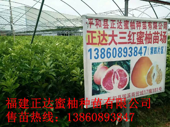 正达蜜柚大三红最新苗木丨新出圃三红柚苗丨哪里有三红蜜柚苗