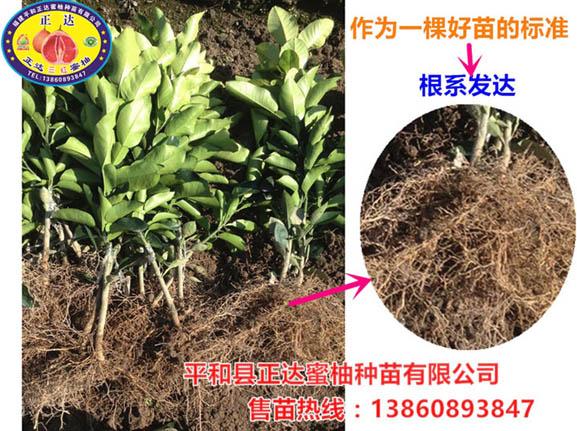 福建正达大三红蜜柚苗根系发达成活率高丨三红蜜柚果苗的种植技巧丨蜜柚果树的管理