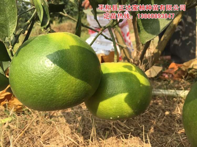 台湾葡萄柚苗,黄肉葡萄柚,黄肉西柚苗