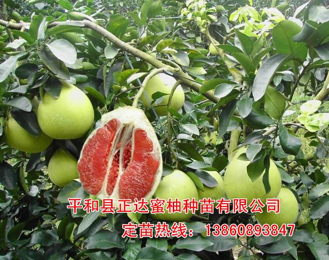 红肉蜜柚苗卖多少钱一株,福建红心蜜柚苗价格