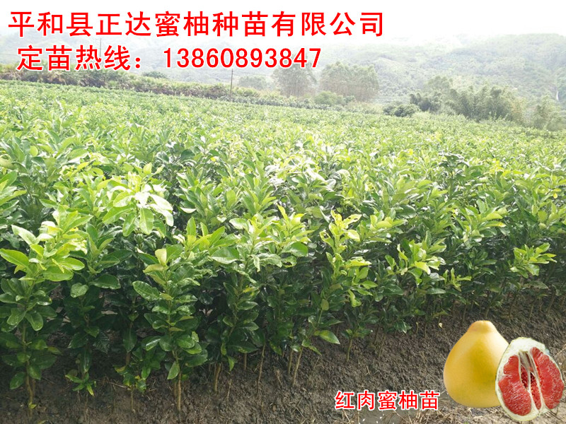 这家种植的红肉蜜柚苗木陆续出圃中丨湖南红肉柚子苗出售丨湖南红心蜜柚苗