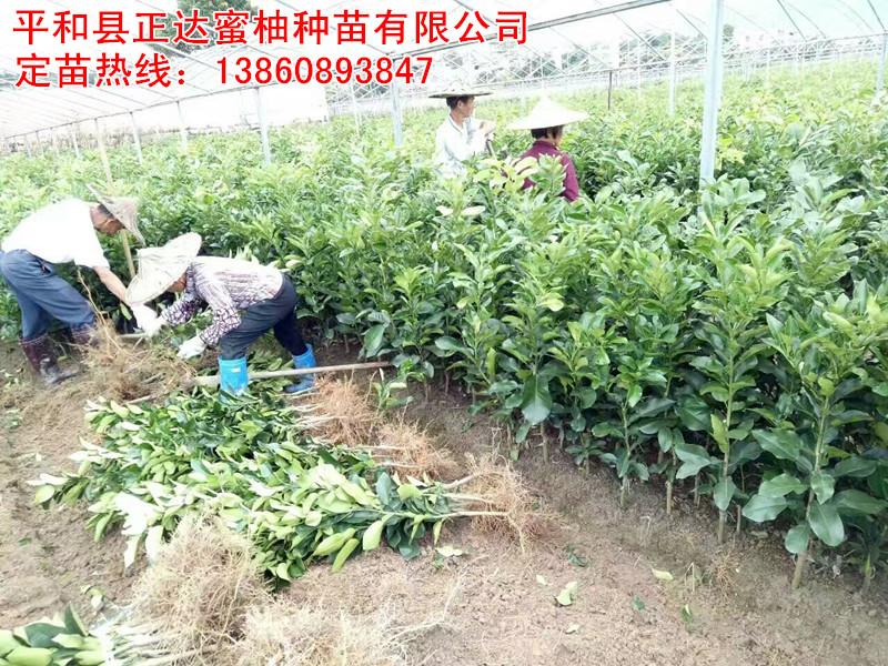 三红蜜柚苗现起现发货丨福建正宗三红柚子苗销售