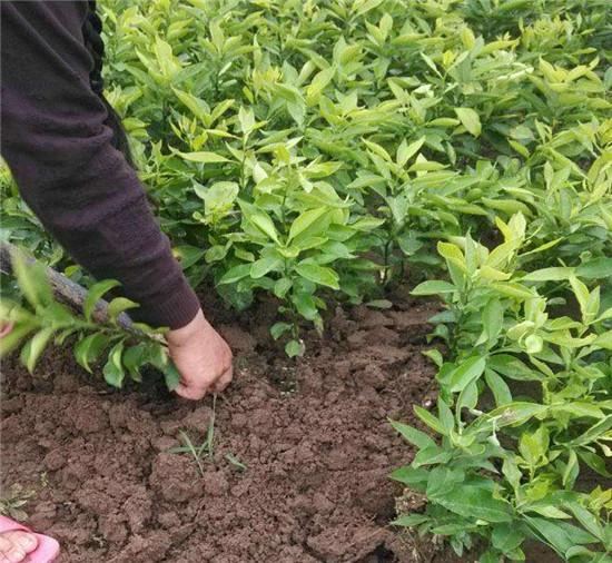 爱媛38号柑橘苗适合哪里种植,湖南爱媛38号柑橘苗和爱媛30号苗有什么区别