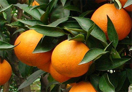 爱媛38号柑橘苗种植技巧,哪家有正宗爱媛38号杂柑苗
