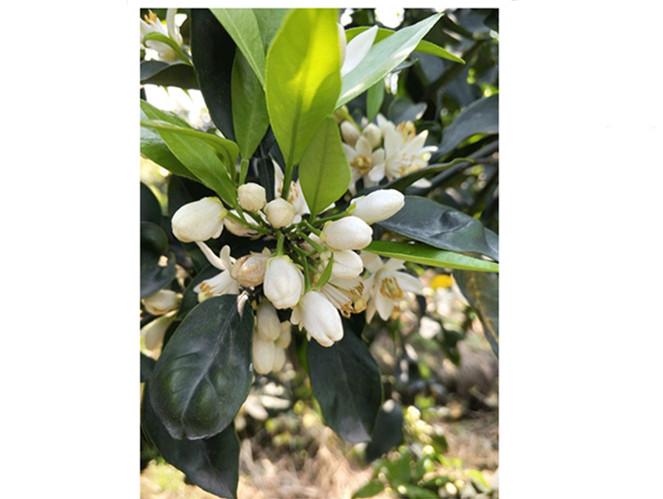 早熟杂柑爱媛38号柑桔苗价格多少 哪里有正宗爱媛38号柑桔苗出售的