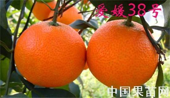 爱媛38号柑橘苗哪里有出售,正宗爱媛38号柑桔苗的种植技术