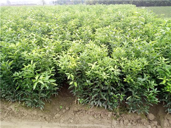 福建沃柑苗产量如何丨沃柑苗批发