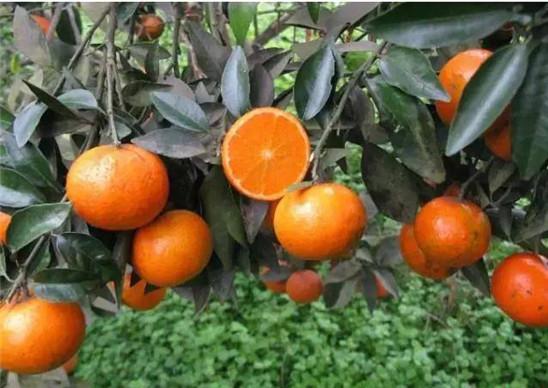 哪家供应的沃柑苗品质最好丨沃柑为何叫晚熟大王