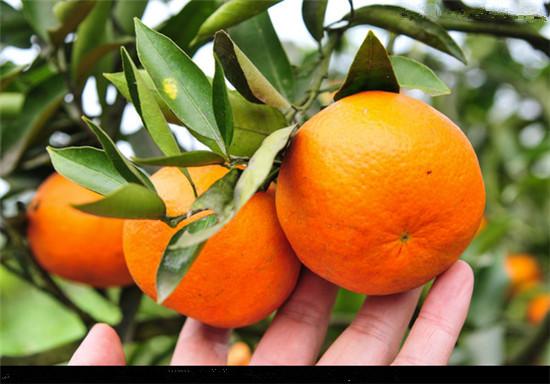 买沃柑苗要找平和正达蜜柚苗木基地丨正宗无核沃柑苗销售
