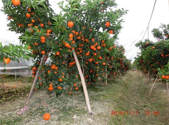 哪里有供应香橙沃柑苗,香橙沃柑苗哪家好