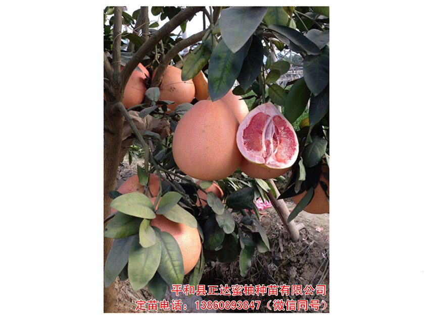 三红蜜柚苗哪家最好,当然选福建省平和县正达蜜柚种苗有限公司了