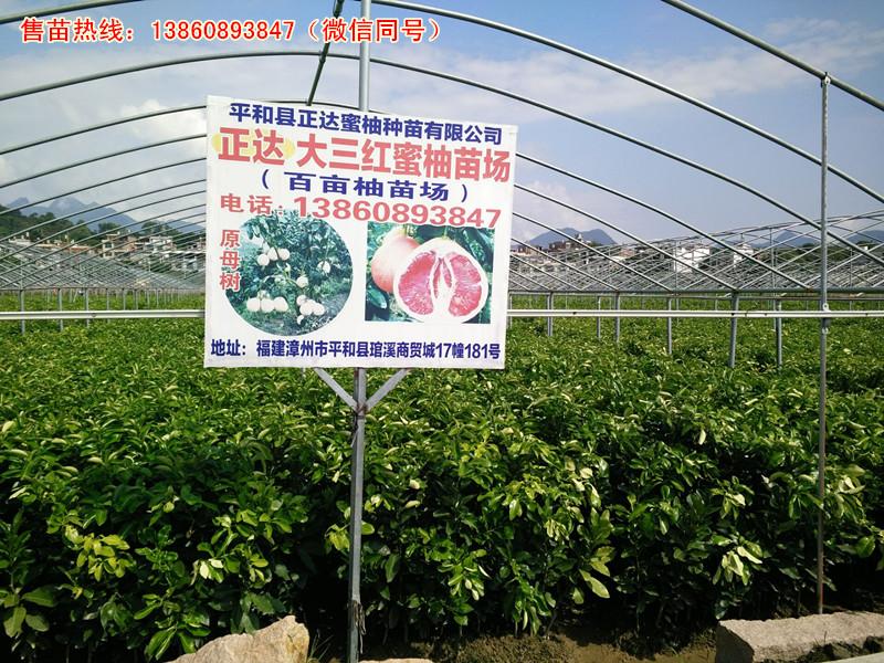 大三红蜜柚苗最佳育苗单位丨三年生红皮红肉蜜柚苗出自哪里